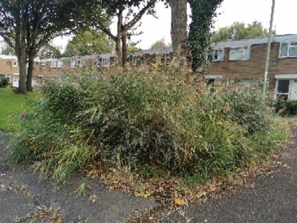 Bush around tree needs trim out-70 CHAUCER, Farnborough, GU14 8TB