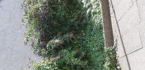 302 Craven Park Road, London, N15 6AJ overgrown strobs need urgent attention  Everett -146 Craven Park Road, London, N15 6AJ