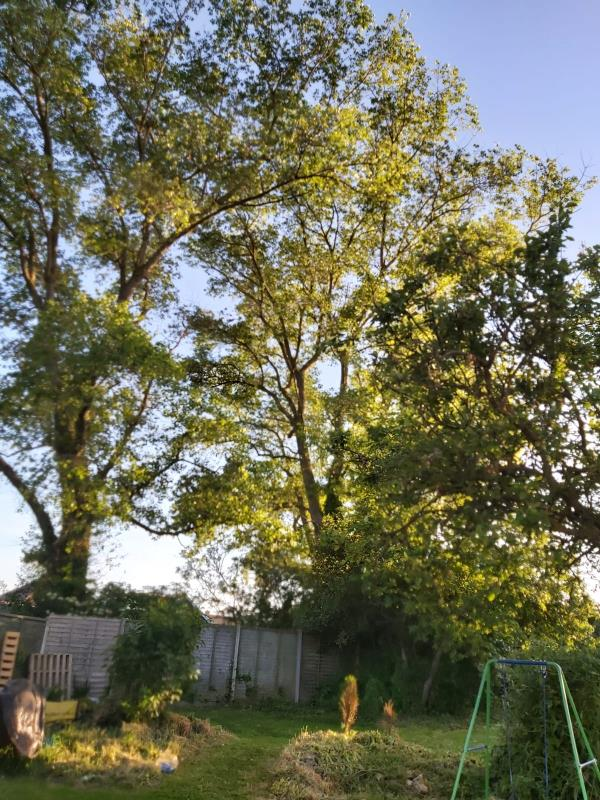 """3 very large trees over hanging the rear of garden  property causing damage to building in garden also one tree very heavily wrapped in vines making the tree look unstable as well as damaged. These trees are between 2 gardens in a """"no man's land"""" that once was a maintained ally for rear access to property that is no longer accessible  image 2-22 lancing Close, Lancing, BN15 9NJ"""