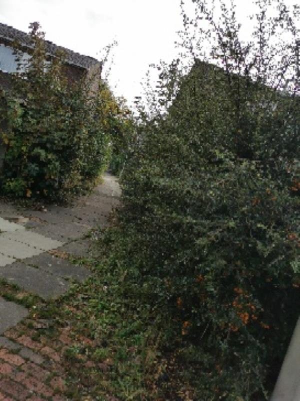 Massively over grown bushes needs trimming-27 Carmarthen Close, Farnborough, GU14 8TJ