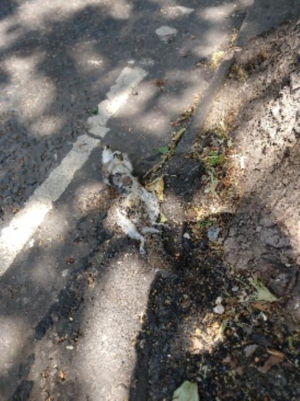 dead squirrel edge of road 46 kidmore-44 Kidmore Road, Reading, RG4 7LU