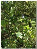 The fallen fig tree is located by the walkway between Western Road and Ullswater Road (directly opposite Bowness Avenue. It has been reported to me by a Sompting Parish Councillor as it is restricting access.-34 Ullswater Road, Sompting, BN15 9TL