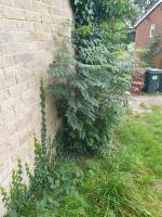 There are three trees that have sprung up this year and need cutting back as they will compromise the block of garages if they continue to grow.  Please Daniel they all be removed. image 2-39 Fircroft Close, Reading, RG31 6LJ