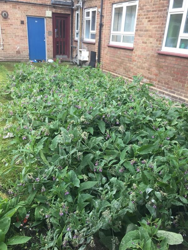 Hi,  We have those plant in our communal area behind the flats. Those plants are not good for me and my family health. They are generating lots of small insects which are coming inside flats through window. I have asked Gardner who comes to maintenance and he advised me to contact council. image 1-46 Mountfield Rd, London E6 6BJ, UK