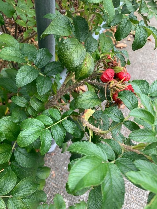Plant growing in the walk way. It has got thorns in it. It can hurt someone walking pass by it, especially kids.  image 1-9 Mountfield Road, London, E6 6BH