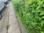 long plant with thorn has over grown and affecting people to walk on pavement. specially on school time where childrens were walking. Also common nettle has over grown and made difficult to walk. image 2-105 AUSTEN, Farnborough, GU14 8LQ
