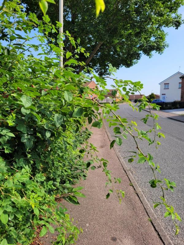 Branches overhanging and obstructing pavement. Lots of thorns and they are at eye level. -47 Heatherbrook Road, Leicester, LE4 1AL