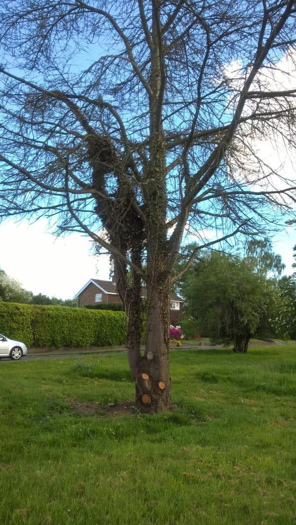 The Parish Council reported that the tree was dying on 6th July 2017 and received the following reply on 29th August 2017 ` Thank you for your enquiry. I can confirm our Arboriculturist has been to site and has raised a job 50038246. This work is to clear ivy as well as all bramble and elder to ground level. This work is a medium priority and is not due until the new year. However, I do have to point out that we have a vast backlog of work so this may taken even longer as we are having to concentrate all our resources to high and health and safety works. We are taking steps to alleviate the problems but this is not a quick fix. Thank you for taking the time to contact us. Kind regards WSCC Tree Team Dept'  The tree was again reported in May 2018 and we received the following reply on 17th May 2018 `Thank you for your enquiry regarding the replacement of a fir tree in Church Road. Unfortunately we only had funds to plant 50 trees this year which has all been allocated and your tree was not included.  If you would like to donate towards replacing the tree please see the WSCC website for further information.  There has been no metion when the dead tree and roots will be removed and the Parish Council fail to see why they should now be asked to contribute £150.00 towards the cost of a replacement tree when if remedial action had been taken in August last year the established fir tree would probably still be alive.  The Parish Council have also received a request from a resident who would like to plant shrubs on the green, please can you advise varieties which would be acceptable to WSCC Highways.      -1 Lime Kiln Road, Mannings Heath, RH13 6