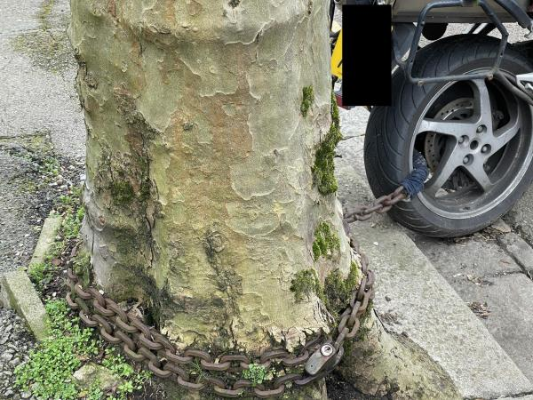 Someone has put a large chain around the base of a tree in order to secure a motorcycle. The the chain is cutting into the tree and needs to be removed before it damages the tree.-46 Leaside Avenue, Muswell Hill, N10 3BU