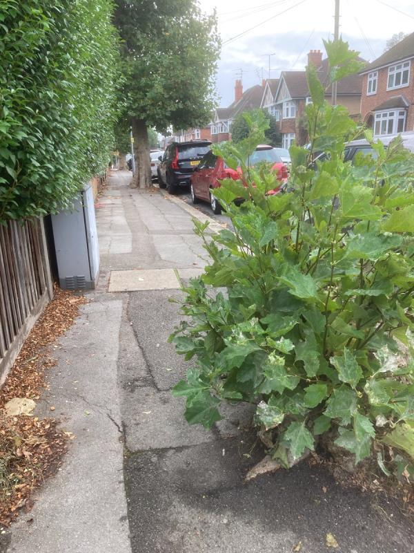 Tree stump is growing over footpath and the hedge is also overgrown making it difficult for pushchairs and mobility scooters. -93 Waverley Road, Reading, RG30 2QB