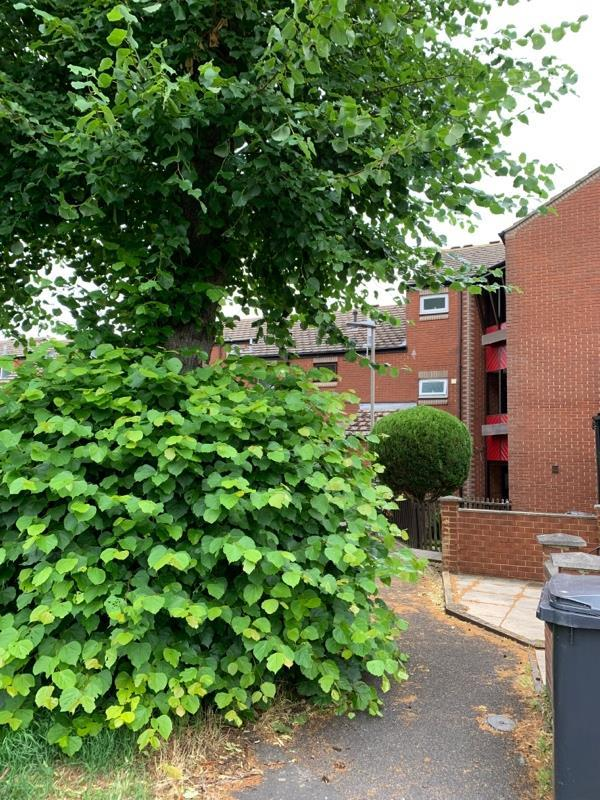 This tree needs cutting back it is on the pathway -32 Avon Place, Reading, RG1 3LA