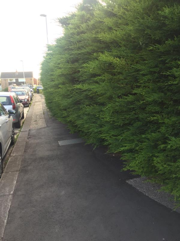 Over grown trees used as hedging growing out and obstructing the pavement, causing restriction to pavement use.-62 Boxgrove Goring