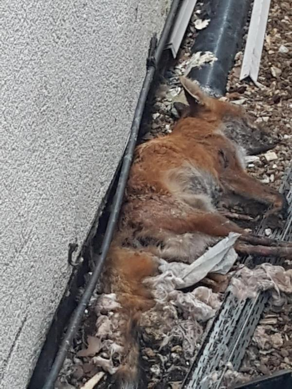 There is a fox dead in my garden -177 Lewisham way
