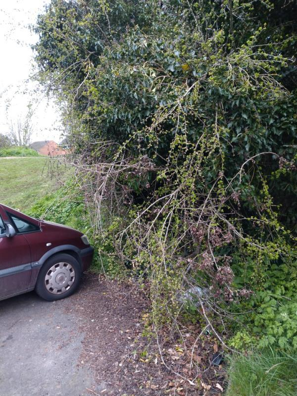 Overhanging hawthorn tree at the end of rodway Road -249 Rodway Road, Reading, RG30 6EW
