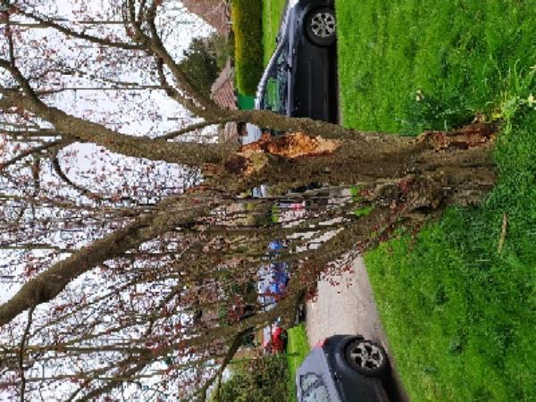 Tree with storm damage now has a fungal infection. One of the residents has tried to trim it but needs to be professionally assessed.-36 Weald Close, Hurstpierpoint, BN6 9SR