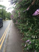 Overgrown foliage from Lippincote Court making path near in impassable and dangerous for pedestrians on a very busy and fast stretch of Oxford Road-Lippincote Court Oxford Road, Reading, RG31 6TB